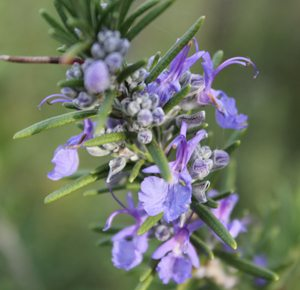 Rosemary Essential Oil for Hair Loss